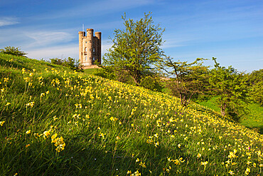 Broadway Tower with cowslips, Broadway, Worcestershire, England, United Kingdom, Europe