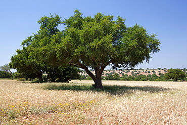 Argan trees, near Essaouira, Morocco, North Africa, Africa