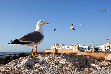 Seagulls and the medina and ramparts, Essaouira, Atlantic coast, Morocco, North Africa, Africa