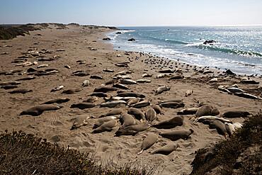 Piedras Blancas Elephant Seal Rookery, San Simeon, San Luis Obispo County, California, United States of America, North America