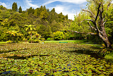 Lily pond at Rapaura Water Gardens, near Thames, Coromandel Peninsula, Waikato, North Island, New Zealand, Pacific