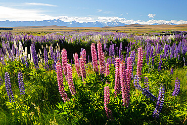 Field of lupins with Southern Alps behind, near Lake Tekapo, Canterbury region, South Island, New Zealand, Pacific