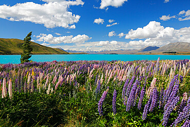 Lupins beside lake, Lake Tekapo, Canterbury region, South Island, New Zealand, Pacific