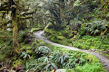 Ferns and moss in forest near Lake Mackenzie, Routeburn Track, Fiordland National Park, UNESCO World Heritage Site, South Island, New Zealand, Pacific