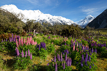 Lupins and Mount Cook, Mount Cook Village, Mount Cook National Park, UNESCO World Heritage Site, Canterbury region, South Island, New Zealand, Pacific