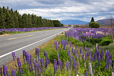 Highway 8 passing through field of Lupins, near Lake Tekapo, Canterbury region, South Island, New Zealand, Pacific