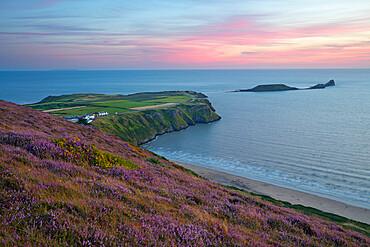 Worms Head and Rhossili Bay with Heather-clad cliffs, Gower Peninsula, Swansea, West Glamorgan, Wales, United Kingdom, Europe