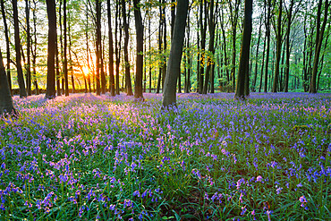 Bluebell wood, Stow-on-the-Wold, Cotswolds, Gloucestershire, England, United Kingdom, Europe