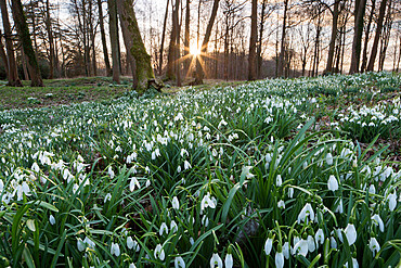 Snowdrops in woodland at sunset, near Stow-on-the-Wold, Cotswolds, Gloucestershire, England, United Kingdom, Europe