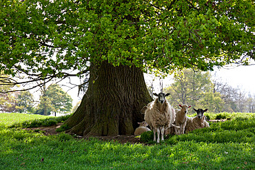Ewes and lambs under shade of oak tree, Chipping Campden, Cotswolds, Gloucestershire, England, United Kingdom, Europe