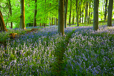 Path through bluebell wood, Chipping Campden, Cotswolds, Gloucestershire, England, United Kingdom, Europe