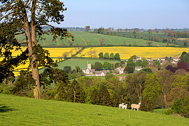 Oilseed rape fields and sheep above Cotswold village, Guiting Power, Cotswolds, Gloucestershire, England, United Kingdom, Europe