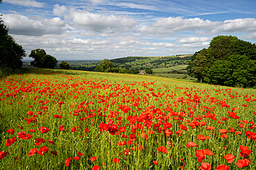 Field of red poppies, near Winchcombe, Cotswolds, Gloucestershire, England, United Kingdom, Europe