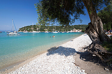 Pebble beach and bay with olive tree, Lakka, Paxos, Ionian Islands, Greek Islands, Greece, Europe