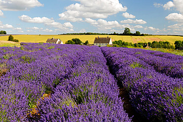 Cotswold Lavender, Snowshill, Cotswolds, Gloucestershire, England, United Kingdom, Europe