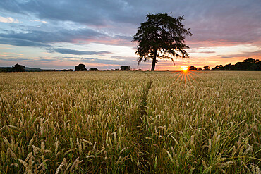 Wheat field and pine tree at sunset, near Chipping Campden, Cotswolds, Gloucestershire, England, United Kingdom, Europe