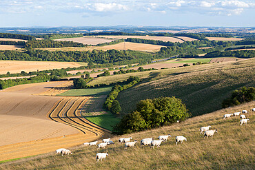 View over summer wheat fields and sheep from top of Beacon Hill, near Highclere, Hampshire, England, United Kingdom, Europe