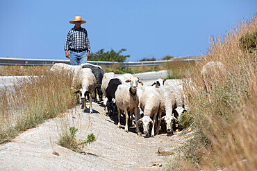 Shepherd with herd of goats along country road, Sifnos, Cyclades, Aegean Sea, Greek Islands, Greece, Europe