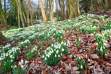 Snowdrops in woodland at the Rococo Garden, Painswick, The Cotswolds, Gloucestershire, England, United Kingdom, Europe