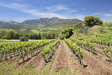 Vineyard set below mountains of the Sierra de Grazalema Natural Park, Zahara de la Sierra, Cadiz Province, Andalucia, Spain, Europe