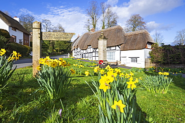 Spring Daffodils on the village green with white thatched cottages behind, Wherwell, Hampshire, England, United Kingdom, Europe