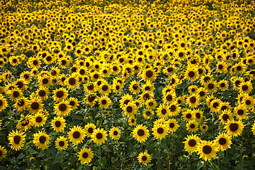 Field full of yellow sunflowers, Newbury, West Berkshire, England, United Kingdom, Europe