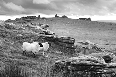 Two white sheep below Staple Tor near Merrivale, Dartmoor National Park, Devon, England, United Kingdom, Europe