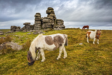 Wild Dartmoor ponies at Staple Tor near Merrivale, Dartmoor National Park, Devon, England, United Kingdom, Europe