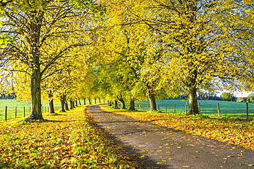 Avenue of autumn beech trees with colourful yellow leaves, Newbury, Berkshire, England, United Kingdom, Europe
