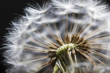 Close up of Dandelion seedhead, United Kingdom, Europe