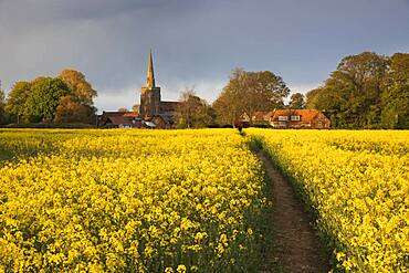 Footpath in rapeseed field to village of Peasemore and St. Barnabas church, Peasemore, West Berkshire, England, United Kingdom, Europe