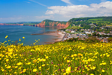 Sidmouth and red cliffs from Salcombe Hill with buttercups, Sidmouth, Jurassic Coast, Devon, England, United Kingdom, Europe