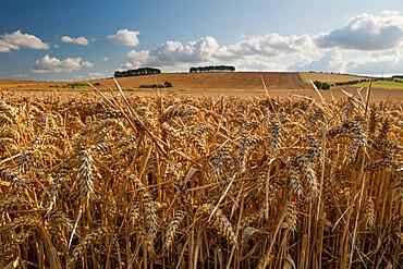 Golden wheatfield below Hackpen Hill, near Wantage, Oxfordshire, England, United Kingdom, Europe