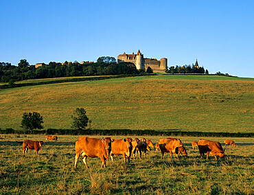 Cows below the Chateau, Chateauneuf, Burgundy, France, Europe
