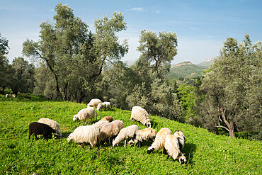 Sheep in olive grove, Patsos, Rethimnon (Rethymno) region, Crete, Greek Islands, Greece, Europe
