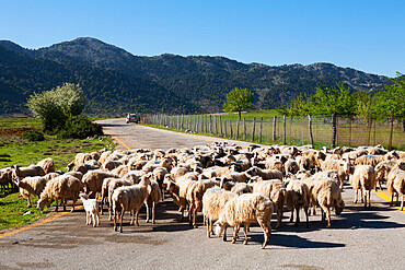 Sheep on road, Omalos Plain, Chania region, Crete, Greek Islands, Greece, Europe