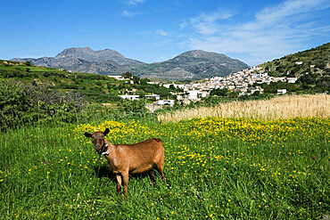 Goat in spring meadow, Agios Stefanos, near Pefki, Lasithi region, Crete, Greek Islands, Greece, Europe
