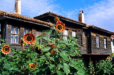 Sunflowers outside typical wooden houses, Nesebur (Nessebar), Black Sea coast, Bulgaria, Europe