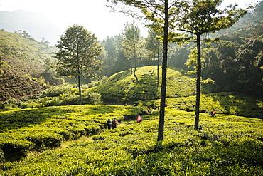 Tea estate, Nuwara Eliya, Central Province, Sri Lanka, Asia