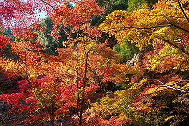 Japanese maple trees in autumn, in Arashiyama, Kyoto, Japan, Asia
