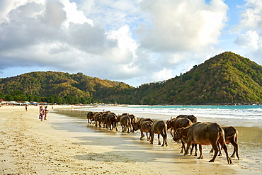 Herd of buffalo crossing Selong Belanak Beach, a daily occurrence as they return from grazing in the fields, Lombok, Indonesia, Southeast Asia, Asia