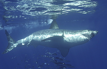 Great White Shark (Carcharodon Carcharias) swimming with shoal of fish. Isla Guadalupe, Mexico. (A4 only).