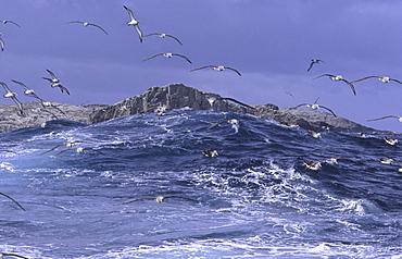 Salvinvs Albatross (Diomedea Cauta Salvini) getting attracted by squid. Bounty Islands, Subantarctic New Zealand.