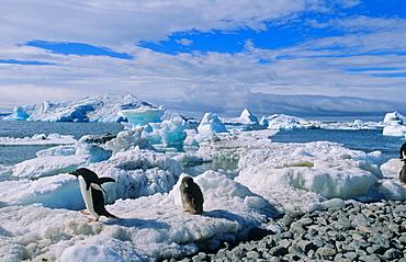 Adult Adélie Penguin (Pygoscelis adeliae) leaving its chick for finding food. Paulet Island, Weddell Sea, Antarctica