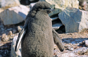 Adélie Penguin (Pygoscelis adeliae) chick. Paulet Island, Weddell Sea, Antarctica