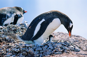 Adult Gentoo Penguin (Pygoscelis papua) sitting with chick on its nest. Cuverville Island, Antarctica
