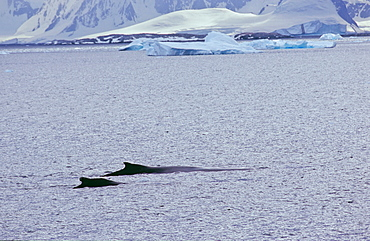 Two humpback whales (Megaptera novaeangliae) swimming in front of an icy coastline. Cuverville Island, Antarctica