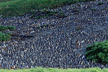 Huge colony of King Penguins (Aptenodytes patagonicus) framed by tussock grass. Salisbury Plain, South Georgia, Subantarctic   (rr)