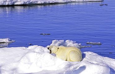 Young polar bear (Ursus maritimus) sitting on an ice floe. Scoresbysund, East Greenland