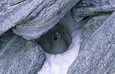 Nesting Snow Petrel (Pagodroma Nivea) in a deep rock crevice. Commonwealth Bay, East Antarctica.